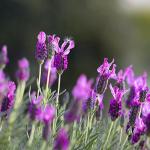 Lavendar. Herbalism